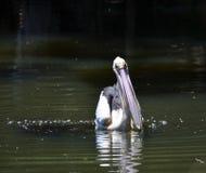 Να ταΐσει πελεκάνων με τη δυτική Αυστραλία ποταμών του Κύκνου στοκ φωτογραφία με δικαίωμα ελεύθερης χρήσης