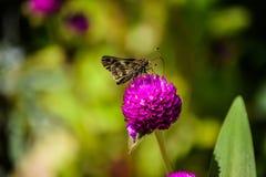Να ταΐσει πεταλούδων με το λουλούδι Στοκ φωτογραφία με δικαίωμα ελεύθερης χρήσης