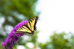 Να ταΐσει πεταλούδων Swallowtail με τα λουλούδια θάμνων πεταλούδων το καλοκαίρι Στοκ εικόνα με δικαίωμα ελεύθερης χρήσης