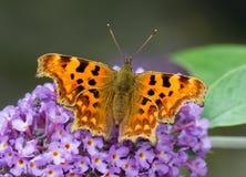 Να ταΐσει πεταλούδων κομμάτων με το πορφυρό λουλούδι Buddleia Στοκ Εικόνες