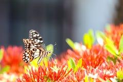 Να ταΐσει πεταλούδων Swallowtail με το κόκκινο λουλούδι στοκ φωτογραφία με δικαίωμα ελεύθερης χρήσης