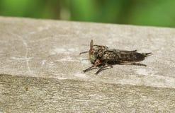 Να ταΐσει cingulatus Machimus μυγών ληστών με μια μύγα που συνέλαβε μόλις Στοκ Φωτογραφία