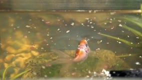 Να ταΐσει goldfish στο ενυδρείο στο σπίτι Βράχος και εγκαταστάσεις ψαριών στο υπόβαθρο απόθεμα βίντεο