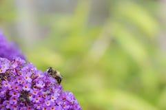 Να ταΐσει Hoverfly με το λουλούδι Buddleia διάστημα αντιγράφων Στοκ Φωτογραφίες
