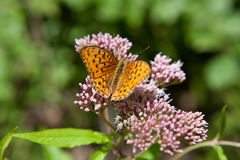 Να ταΐσει paphia Argynnis σκώρων μαργαριταριών με ένα λουλούδι Στοκ Εικόνες