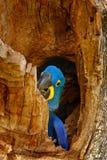 Να τοποθετηθεί συμπεριφορά Υάκινθος Macaw, hyacinthinus Anodorhynchus, στην κοιλότητα φωλιών δέντρων, Pantanal, Βραζιλία, Νότια Α Στοκ εικόνα με δικαίωμα ελεύθερης χρήσης