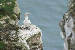Να τοποθετηθεί gannet σε ένα ακρωτήριο απότομων βράχων Στοκ φωτογραφίες με δικαίωμα ελεύθερης χρήσης