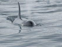 να φορήσει τη φάλαινα orca Στοκ φωτογραφία με δικαίωμα ελεύθερης χρήσης