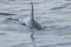 να φορήσει τη φάλαινα orca Στοκ Φωτογραφία