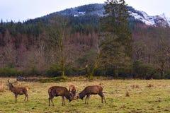 Να χτυπήσει κόκκινα deers Στοκ Φωτογραφία