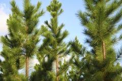 Νεανικά δέντρα πεύκων Στοκ Φωτογραφίες