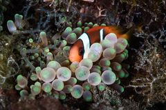 Νεανικά σκοτεινά Anemonefish και Anemone Στοκ φωτογραφίες με δικαίωμα ελεύθερης χρήσης