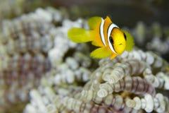 Νεανικά ψάρια κλόουν στοκ εικόνες με δικαίωμα ελεύθερης χρήσης
