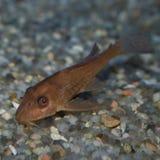 Νεανικά ψάρια Pleco σοκολάτας Στοκ Φωτογραφία