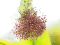 Νεανικές αράχνες που μοιάζουν τα ανθρώπινα κρανία που μπλέκονται με στη φωλιά Στοκ εικόνα με δικαίωμα ελεύθερης χρήσης