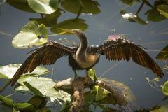 Νεανικές στάσεις anhinga με τα φτερά εκτενή στη Φλώριδα ` s Evergl Στοκ φωτογραφίες με δικαίωμα ελεύθερης χρήσης