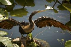 Νεανικές στάσεις anhinga με τα φτερά εκτενή στη Φλώριδα ` s Evergl Στοκ εικόνες με δικαίωμα ελεύθερης χρήσης