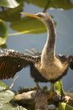 Νεανικές στάσεις anhinga με τα φτερά εκτενή στη Φλώριδα ` s Evergl Στοκ Φωτογραφίες