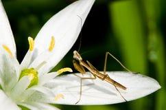 Νεανική επίκληση Mantis Στοκ Φωτογραφία