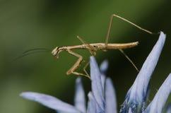 Νεανική επίκληση Mantis Στοκ φωτογραφίες με δικαίωμα ελεύθερης χρήσης