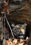 Νεανική τίγρη της Βεγγάλης στο φυσικό βιότοπο Στοκ Εικόνες