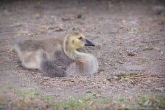 Νεανική χήνα Στοκ φωτογραφίες με δικαίωμα ελεύθερης χρήσης