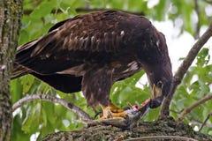 Νεανικός αμερικανικός φαλακρός αετός με τα ψάρια Στοκ Φωτογραφίες