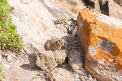 Νεανικός βράχος Hyrax Στοκ Εικόνα