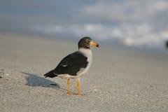 Νεανικός γλάρος Belcher ` s στην παραλία στοκ εικόνες