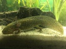 Νεανικός πράσινος άγριος-τύπος Axolotl Στοκ φωτογραφία με δικαίωμα ελεύθερης χρήσης