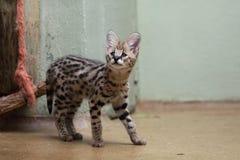 νεανικός serval Στοκ φωτογραφίες με δικαίωμα ελεύθερης χρήσης