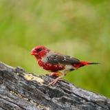 Νεανικό αρσενικό κόκκινο Avadavat Στοκ Εικόνες