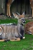 νεανικό αρσενικό nyala στοκ φωτογραφία