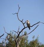 Νεανικό γέλιο Jackass ή αυστραλιανό Kookaburra σε ένα δέντρο Στοκ Εικόνες