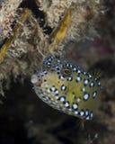 Νεανικό θηλυκό boxfish Στοκ φωτογραφία με δικαίωμα ελεύθερης χρήσης