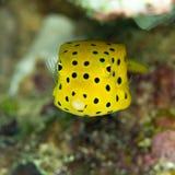 Νεανικό κίτρινο boxfish, cubicus ostracion Bangka, Ινδονησία στοκ φωτογραφία