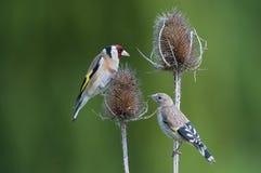 Νεανικό και ενήλικο ευρωπαϊκό Goldfinch (Carduelis γ στοκ φωτογραφίες