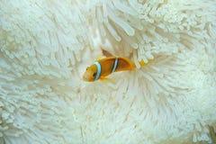 Νεανικό πορτοκαλής-πτερύγιο ψαριών anemonefish Στοκ φωτογραφίες με δικαίωμα ελεύθερης χρήσης