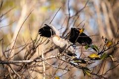 Νεανικό πουλί Anhinga αποκαλούμενο anhinga Anhinga Στοκ Εικόνες