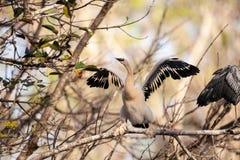 Νεανικό πουλί Anhinga αποκαλούμενο anhinga Anhinga Στοκ Εικόνα