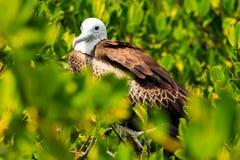 Νεανικό πουλί φρεγάτων Στοκ Εικόνες