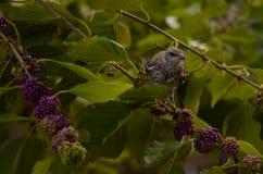 Νεανικό πουλί χλευασμού Στοκ εικόνες με δικαίωμα ελεύθερης χρήσης