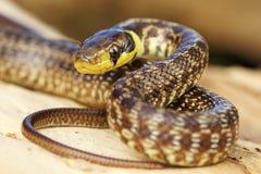 Νεανικό του Ασκληπιού φίδι στο κολόβωμα δέντρων στοκ φωτογραφία