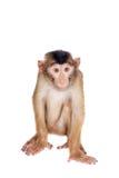 Νεανικό χοίρος-παρακολουθημένο Macaque, nemestrina Macaca, στο λευκό Στοκ Φωτογραφίες