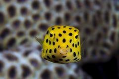 Νεανικό boxfish Στοκ εικόνες με δικαίωμα ελεύθερης χρήσης