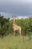 Νεανικό giraffe Στοκ Εικόνα