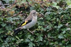 Νεανικό Goldfinch Στοκ Εικόνα