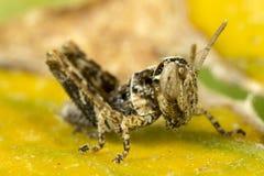 Νεανικό grasshopper Στοκ φωτογραφίες με δικαίωμα ελεύθερης χρήσης