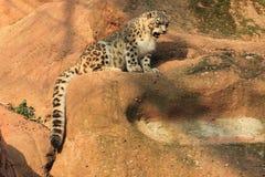 νεανικό leopard χιόνι Στοκ φωτογραφία με δικαίωμα ελεύθερης χρήσης