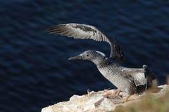 νεανικό morus bassanus gannet βόρειο Στοκ Εικόνα